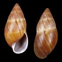 Thaumastus baixoguanduensis