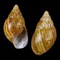 Archachatina granulata