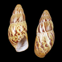 Limicolaria saturata chromatica cf.