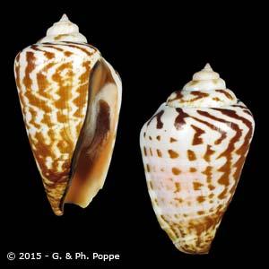 Conomurex luhuanus SPECIAL COLOR