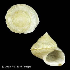 Eutrochatella pulchella pulchella