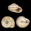 Hemitrochus cesticulus