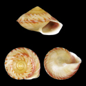 Geophorus fischeriana