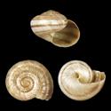 Cepolis arctistria