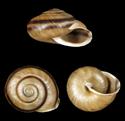 Eurycampta bonplandi