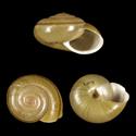 Helminthoglypta petricola