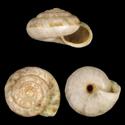 Candidula belemensis