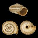 Candidula meridionalis