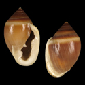Cassidula sulculosa
