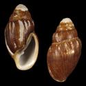 Ellobium aurismalchi