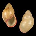 Megalobulimus oblongus musculus