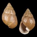 Leptachatina ventulus