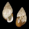 Amastra affinis