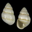 Achatinella fuscobasis lyonsiana
