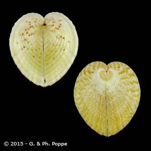 Corculum cardissa f. monstrosum