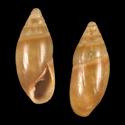 Amphorella triticea