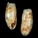 Amphorella cylichna