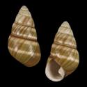Achatinella fuscolineata