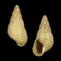 Newcombia canaliculata canaliculata