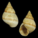 Partulina physa fasciata