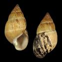 Leptachatina baldwini