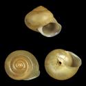 Calvigenia blackmanni
