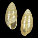 Hypnophila dohrni