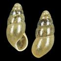 Cochlicopa pfeifferi