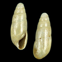 Cryptazeca vasconica