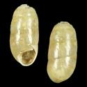 Hypnophila integra
