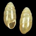 Hypnophila zakynthia