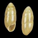 Hypnophila cyclothyra