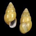 Limicolaria martensi volkensi