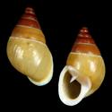 Auriculella brunnea cf.