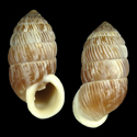 Cerion maisianum