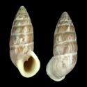 Cerion tridentatum costellatum