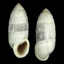Cerion sanctamariae