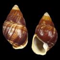 Achatinella mustelina lymaniana