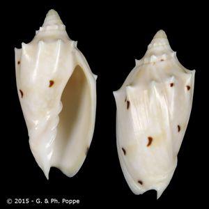 Cymbiola pulchra pulchra