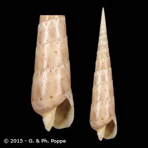 Oxymeris crenulata