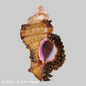 Chicomurex laciniatus GIANT