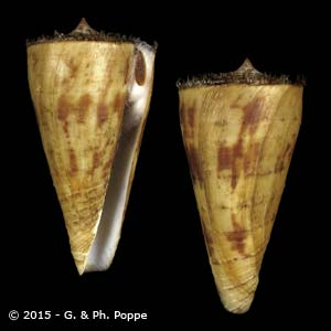 Kioconus tribblei PERIO