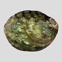 To Conchology (Aculamprotula nodulosa)
