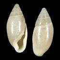 Amphorella grabhami