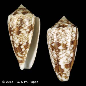Cylinder victoriae f. complanatus