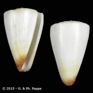 Kioconus reductaspiralis