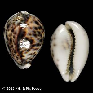 Cypraea tigris PHILIPPINES FREAK