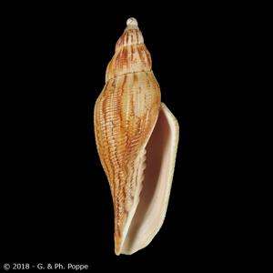 Fulgoraria thachi