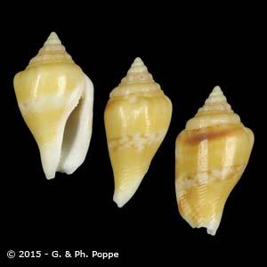Canarium maculatum maculatum