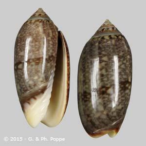 Oliva jaspidea f. duclosi